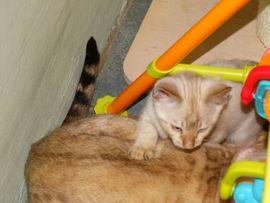 Golden-Wildcat hat ALLE BABYS HABEN: Kleinanzeigen aus Eimsheim - Rubrik Katzen