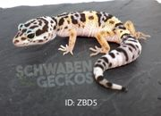 Leopardgeckos Wildfarben Zorro Designer