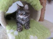 Maine Coon Kitten - Abholbereit