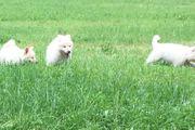 Weiße Schweizer Schäferhundes
