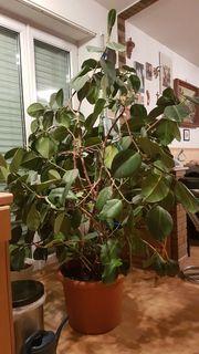 Pflanze ein großer Ficus Gummibaum
