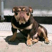 englische bulldogge Deckrüde