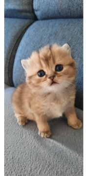 Britisch-Kurzhaar Babykatze