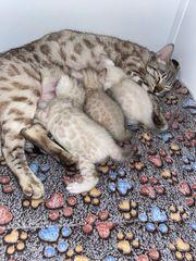 Snow Lynx Bengal kitten suchen