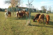 Verkaufe Alpakas Jung- und Alttiere