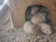 Frettchen- Babys