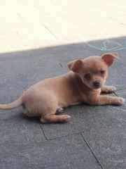 Chihuahua Welpen alle haben ihr