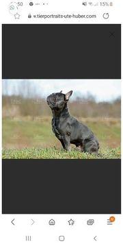 französische Bulldogge sucht neues Zuhause