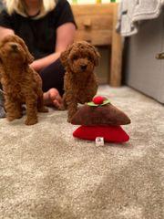 Toy Poodle Welpen zu verkaufen