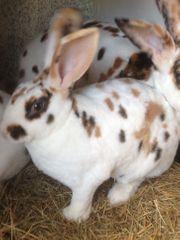Dalmatiner Rex Kaninchen Jungtiere