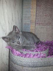Exzellente Russisch Blau Kitten mit