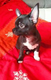 VERKAUFT Chihuahua in dunkle Schoko -