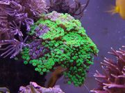 Korallen Meerwasser Euphyllia Krusten und
