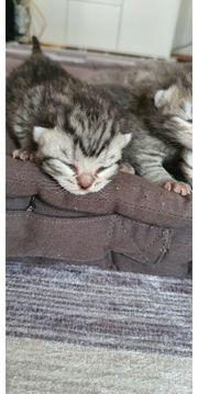 Reinrassige BKH Tabby Kitten