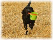 Labrador Retriever Welpe Champ schwarz