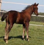 Typvolles sehr kräftes Quarter Horse