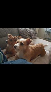 Chihuahua Mischlinge suchen ein neues