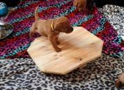 Labrador Welpen aus Hausaufzucht Wurfplanung