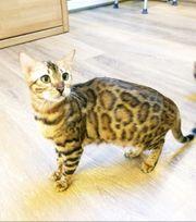 Bengal Katze 2J mit Stammbaum