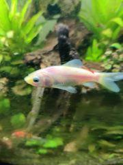 2 Goldfische einer gold einer