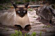 Siam-Mix-Kitten