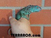 Blauer Leguan Iguana iguana