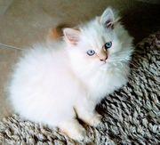 Highland Fold Straight Kitten BLH