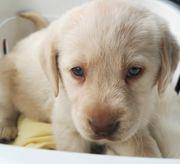 Labrador Mädchen