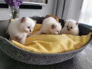 Heilige Birma Kitten Katzen