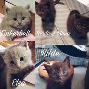 5 wunderschöne BKH- Siam Kitten