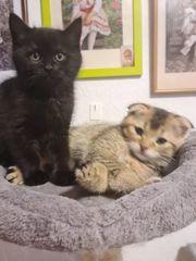 Verkaufen 1Scottish fold 1BKH kitten