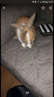 Männliche Kaninchen zu verkaufen sehr