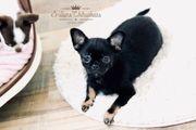 Zauberhafter Chihuahua Bube in Black