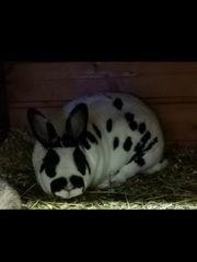 Zwerg Rex Dalmatiner Weibchen