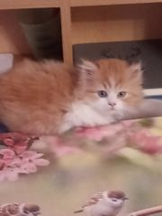 Perser - Katze - Bäby