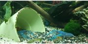 Krebse Blauer Floridakrebs Fische Welse