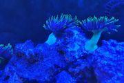 Meerwasser Anemone Aquarium Lebendgestein