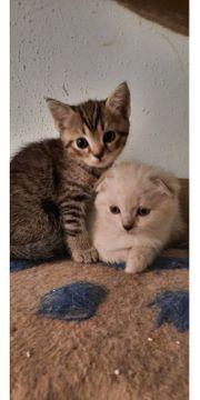 3 BKH - Scottish Fold Kitten