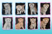 8 BKH Kitten abzugeben