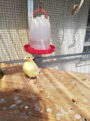Kanarienvögel gelb von 06 2019