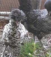 Haubenhühner abzugeben N D Schutz