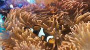 Kupferanemone - Entacmaea Quadricolor - Meerwasser - Anemone