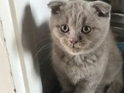 BKH Scottish Fold kitten