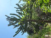 Imposanter Wolfsmilch-Kaktus