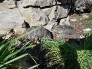 Männliche Breitrandschildkröte NZ 2010