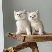 Bkh Kitten mit exzl WCF-Stammbaum