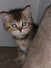 BKH Kitten sehr verspielt