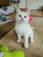 Bezaubernde Bkh Kitten Odd-eye Träger