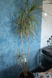 Zimmerpflanzen abzugeben vgl Fotos