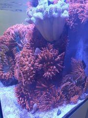 Anemonen Kupferanemonen Meerwasser Aquarium